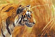 IUCN celebrates International Tiger Day 2015